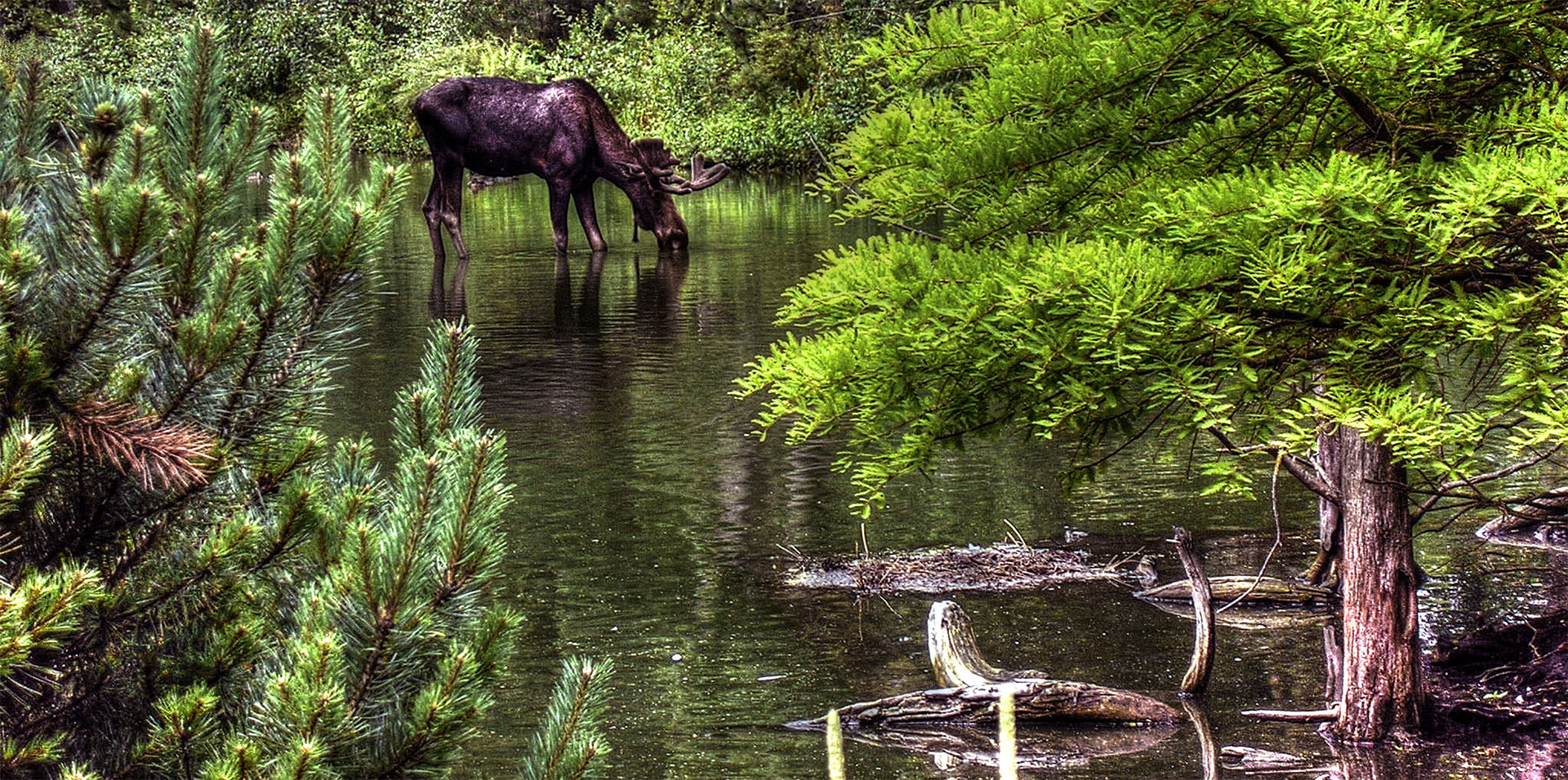 Summer Moose Day - July 25th, 2020