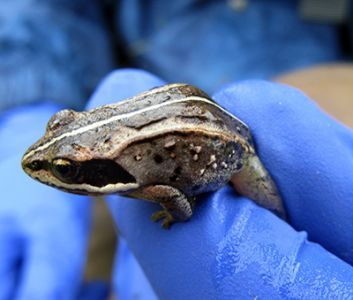 A picture of a gloved hand holding a Wood Frog.