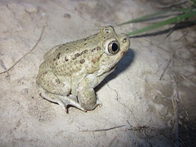 An image of a Great Basin Spadefoot