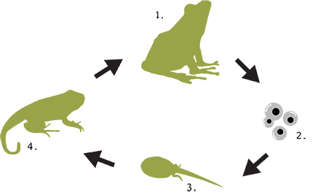 An image describing the life cycle of a frog or toad.
