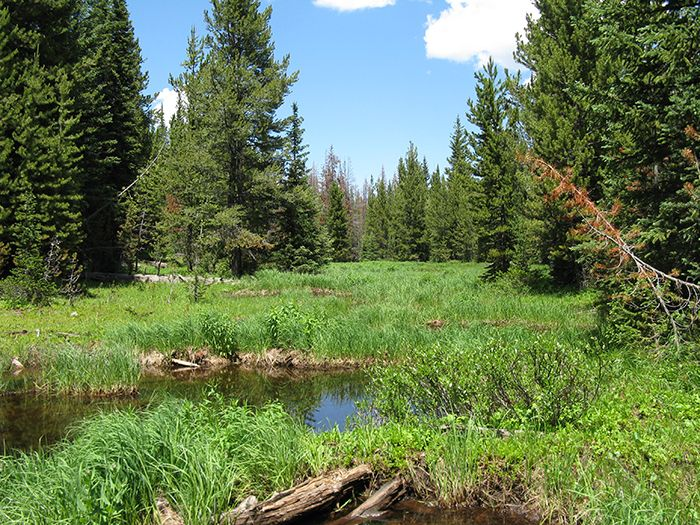 Image of Boreal Toad habitat